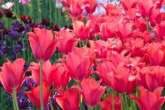 Różowi tulipany Holandia kwitnęli w wiośnie Obraz Royalty Free