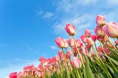 Różowi tulipany na polu nad niebieskim niebem Zdjęcie Stock