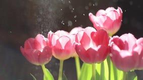 Różowi tulipany pod wodnymi kroplami w promieniach słońce zbiory wideo