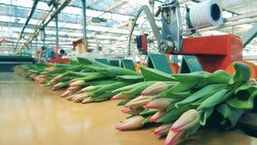 Różowi tulipany ruszają się wzdłuż konwejeru w częściach zbiory
