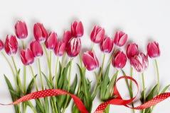 Różowi tulipany w rzędzie na białym tle Zdjęcia Royalty Free
