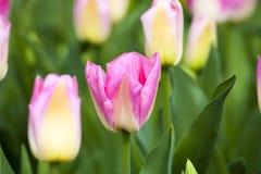 Różowi tulipany w wiośnie obraz royalty free