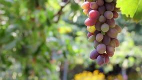 Różowi winogrona zbiory