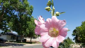Różowi wysocy i piękni hollyhocks zdjęcia stock