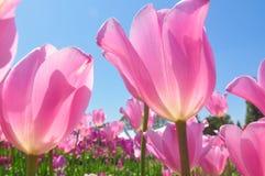 różowy ładny Obraz Royalty Free