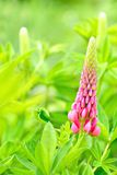Różowy łubinowy kwiat Obraz Royalty Free