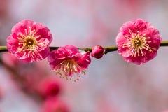 różowy śliwkowy drzewo kwitnie w kwiacie Zdjęcia Stock