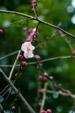 Różowy śliwkowy kwiat Obrazy Royalty Free
