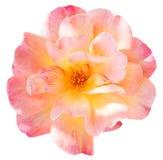 Różowy świeży róża kwiatu zakończenie up odizolowywający Obrazy Stock