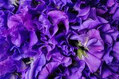 Różowy świeży słodkiego grochu kwiatu tło Obrazy Royalty Free