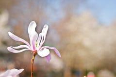 Różowy abloom magnoliowy kwiat Zdjęcie Royalty Free