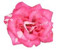 Różowy adamaszek róży kwiat obrazy royalty free