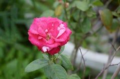 Różowy adamaszek róży kwiat zdjęcie stock