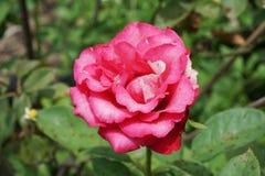 Różowy adamaszek róży kwiat zdjęcia stock