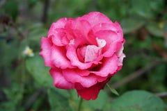 Różowy adamaszek róży kwiat fotografia stock
