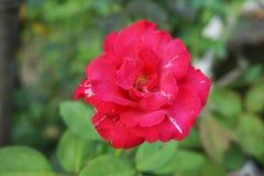 Różowy adamaszek róży kwiat obrazy stock