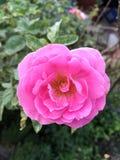 Różowy adamaszek róży kwiat zdjęcie royalty free