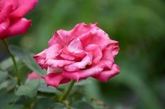 Różowy adamaszek róży kwiat obraz royalty free