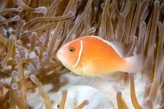 różowy anemonefish Obraz Royalty Free