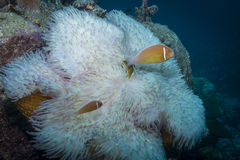 Różowy Anemonefish zdjęcie stock