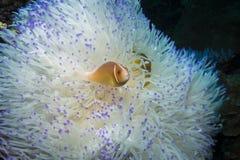 Różowy Anemonefish fotografia stock