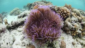 Różowy Anemonefish i gospodarza anemon zdjęcie wideo