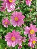 Różowy Anemonowy Hupehensis Japonica kwiatonośny krzak obrazy stock