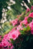 Różowy azalia krzaka zakończenie w górę makro- fotografia royalty free