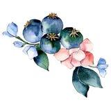 Różowy błękitny botaniczny kwiat Odosobniony bukiet ilustracji element zielony liść tła bazy projekta ustalona akwarela ilustracji