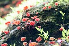 Różowy begonia liść w makro- Zdjęcia Stock
