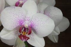 różowy białych orchidei Zdjęcie Royalty Free