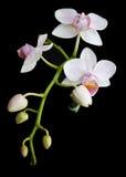 różowy białych orchidei Zdjęcia Stock
