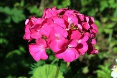 Różowy bodziszek Fotografia Royalty Free