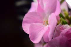 Różowy bodziszka kwiat pięć płatków Zdjęcie Stock