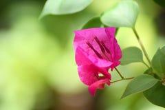 Różowy Bougainvillea Zdjęcie Royalty Free