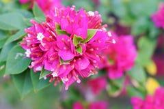 Różowy Bougainvillea Zdjęcia Stock