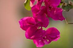 Różowy Bougainvillea Fotografia Stock