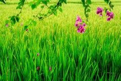 Różowy Bougainvillea blisko ryżowego irlandczyka, Umalas, Bali wyspa, Indonezja Zdjęcie Stock