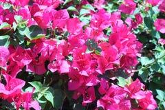 Różowy bougainvillea kwitnie w tło żywych kolorach w Zdjęcie Stock
