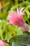 Różowy Bromeliad Obrazy Royalty Free