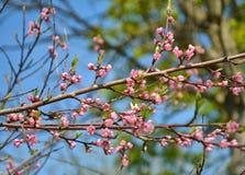 Różowy brzoskwini okwitnięcie Fotografia Royalty Free