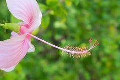 Różowy chińczyk wzrastał Zdjęcie Royalty Free