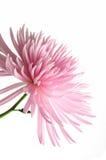 różowy chryzantem Zdjęcie Stock
