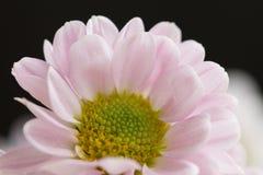 Różowy chryzantema kwiat obrazy royalty free