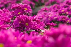 Różowy chryzantema kwiat. Płytka głębia pole. Obrazy Stock