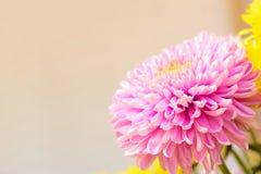 Różowy chryzantema kwiat - rabatowy projekta tło Fotografia Royalty Free
