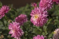 Różowy chryzantema kwiat w naturze zdjęcie stock