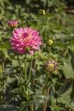 Różowy chryzantema kwiat w naturze obrazy royalty free