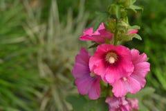 Różowy chryzantema kwiat w naturze zdjęcia stock