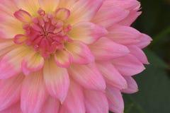 Różowy chryzantema kwiat w naturze zdjęcia royalty free